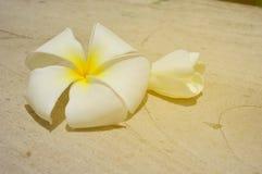 Weiße Plumeriablume mit warmem Ton des Sonnenscheins Lizenzfreie Stockfotos