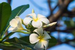 Weiße Plumeriablumen auf Baum Lizenzfreies Stockbild