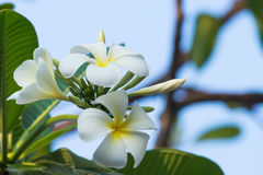Weiße Plumeriablumen auf Baum Stockbilder