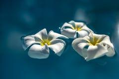 Weiße Plumeriablumen in blaues Wasser makro Stockfoto