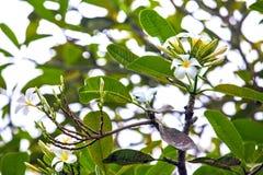 Weiße Plumeriablumenblüte auf dem Niederlassungsbaum Stockfotografie