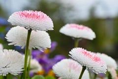 Weiße Pomponette-Mischungs-Gänseblümchennahaufnahme Stockbild