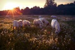 Weiße Ponys bei Sonnenuntergang Lizenzfreies Stockbild