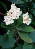 Weiße Puay-Sian-Blume Lizenzfreie Stockfotos