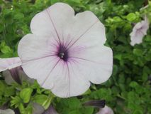 Weiße purpurrote Blume Stockbild