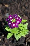 Weiße purpurrote Blume Lizenzfreie Stockfotografie