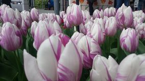Weiße purpurrote Tulpen Lizenzfreies Stockbild