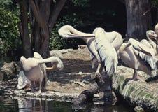 Weiße putzende Pelikane Stockfotos