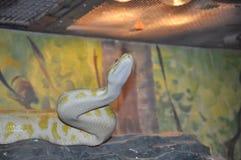 Weiße Pythonschlange mit gelber Stelle lizenzfreies stockfoto