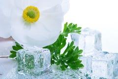 Weiße Ranunculus- und Eiswürfel Stockbild