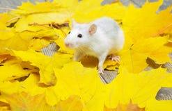 Weiße Ratte Stockfoto