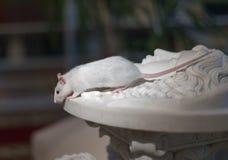 Weiße Ratte auf Marmorstatuen Lizenzfreie Stockbilder