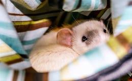 Weiße Ratte, die Kamera betrachtet Lizenzfreie Stockfotografie