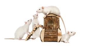 Weiße Ratten auf einem Rattenhaus Stockfotografie