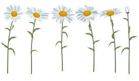 Weiße realistische Gänseblümchen lokalisiert Stockfotografie
