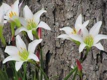 Weiße Regenlilien Lichtstrahlen schließen oben stockfotografie