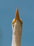 Weiße Reiher-Augen lizenzfreie stockfotografie