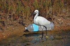 Weiße Reiher- und Plastikflasche Stockbild