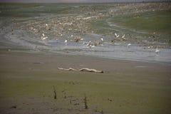 Weiße Reiher Vögel auf Land während Wasserspiegel oben in Mündung vom Chao Phraya Lizenzfreies Stockbild