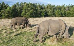 Weiße Rhinos Stockfotografie