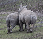 Weiße Rhinos Stockfoto