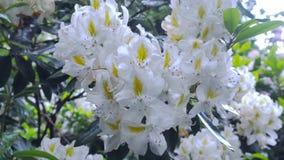 Weiße Rhododendronblume im Garten Stockbild