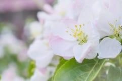 Weiße rosa Blumen auf einer Baumnahaufnahme Stockbilder
