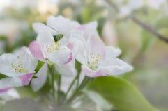 Weiße rosa Blumen auf einer Baumnahaufnahme Lizenzfreie Stockfotos