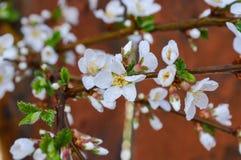 Weiße rosa Blumen auf einer Baumnahaufnahme Lizenzfreies Stockbild