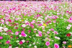 Weiße rosa Farbe der Kosmosblume Lizenzfreies Stockfoto
