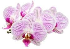 Weiße rosa gestreifte Orchidee geerntet Lizenzfreie Stockfotos