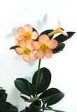 Weiße rosafarbene Blumen Lizenzfreies Stockbild