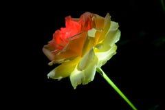 Weiße Rosarose auf einem schwarzen Hintergrund Stockfotos