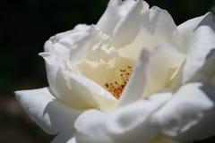 Weiße Rose Lizenzfreie Stockfotos