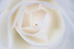 Weiße Rose Stockbild