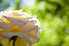 Weiße Rose Against Green Bokeh Lizenzfreies Stockfoto