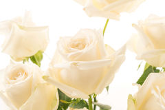 Weiße Rose auf Weiß Stockbild