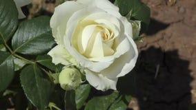 Weiße Rose, die in den Wind beeinflußt stock footage
