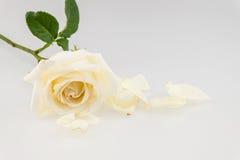Weiße Rose nahe den Blumenblättern lokalisiert auf weißem Hintergrund Lizenzfreie Stockfotos