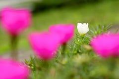 Weiße Rose Between Pink Rose Lizenzfreie Stockbilder