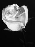 Weiße Rose in Schwarzweiss Stockfotografie