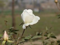 Weiße Rose und eine Knospe zum sich zu öffnen Stockfotografie