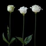Weiße Rosen Stockbilder