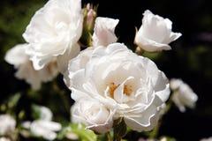 Weiße Rosen auf Mainau Insel/Deutschland Lizenzfreie Stockbilder