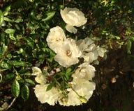 Weiße Rosen in einem Garten stockfoto