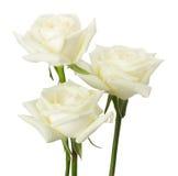 Weiße Rosen getrennt auf dem weißen Hintergrund Stockfotografie