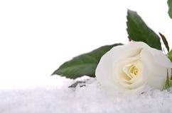 Weiße Rosen im Schnee Stockfoto