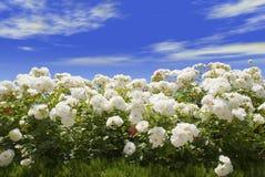 Weiße Rosen und blauer Himmel Stockbilder