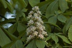 Weiße Rosskastanie, Aesculus hippocastanum oder Conkerbaum mit Blume und Blatt Stockfoto