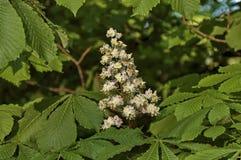 Weiße Rosskastanie, Aesculus hippocastanum oder Conkerbaum mit Blume und Blatt, Sofia Lizenzfreie Stockfotos